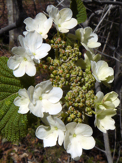 Viorne bois-d'orignal (Viburnum lantanoides) Inflorescence (Fleurs stériles)