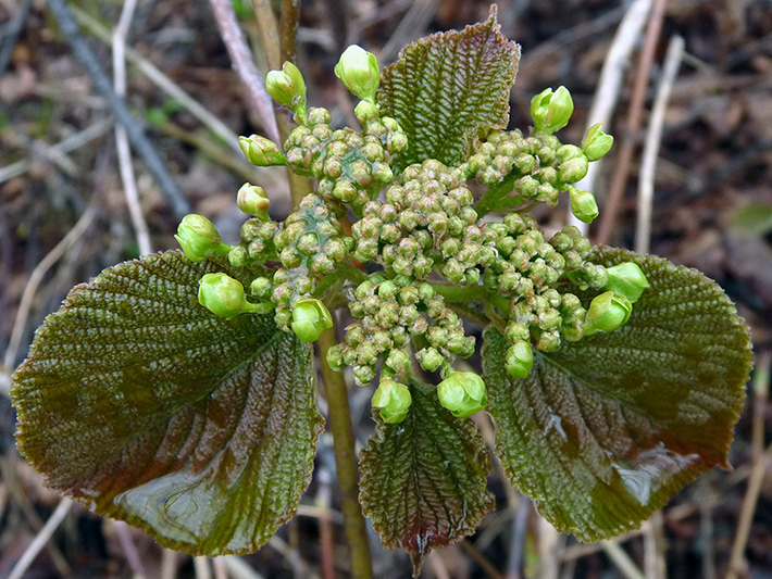 Hobblebush (Viburnum lantanoides) : Sterile and fertile flowers buds