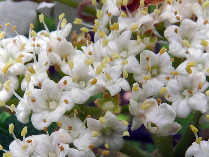 Viorne bois-d'orignal (Viburnum lantanoides) Fleurs fertiles