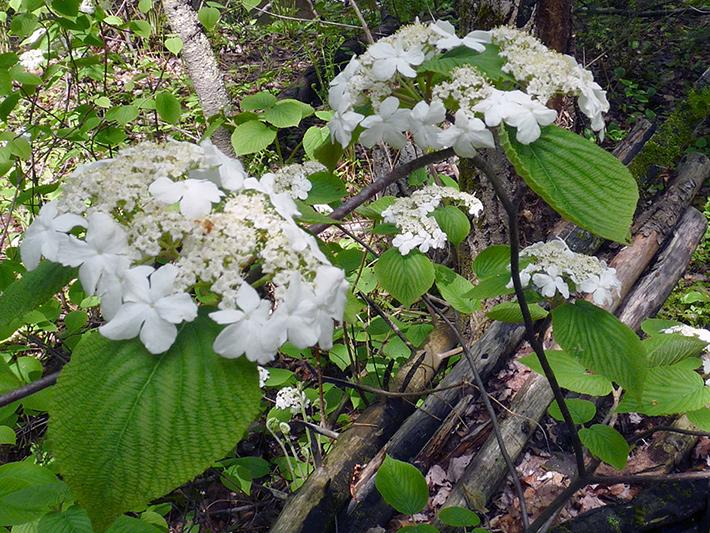 Viorne bois-d'orignal (Viburnum lantanoides) Plante (arbuste) en fleurs