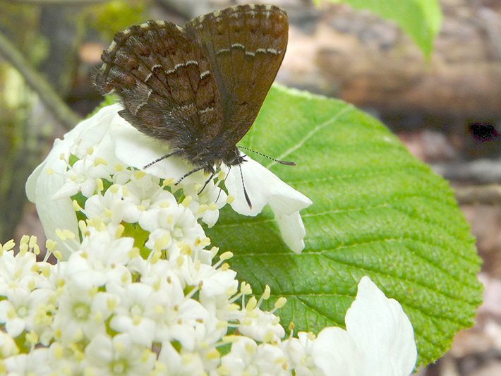 Hobblebush (Viburnum lantanoides) : Inflorescence and buterfly
