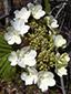 Hobblebush : 1- Inflorescence (sterile flowers)
