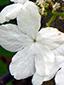 Hobblebush : 7- Sterile flower