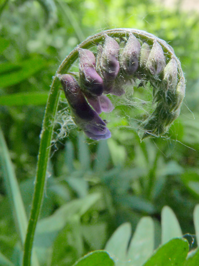 Tufted vetch (Vicia cracca) : Buds