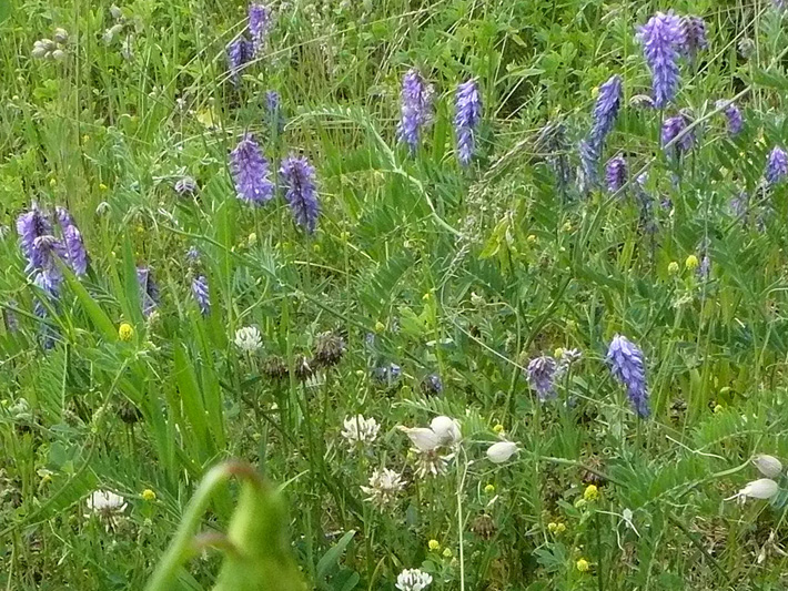 Tufted vetch (Vicia cracca) : Colony