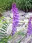 Tufted vetch : 1- Flowering plants