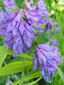 Tufted vetch : 4- Inflorescence