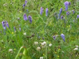 Tufted vetch : 7- Colony