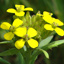 Wormseed wallflower