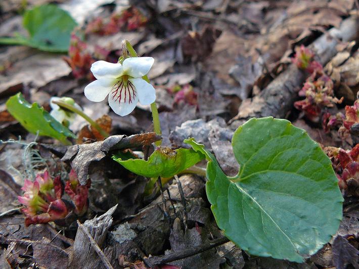 Violette trousse-dents (Viola renifolia) Plante en fleur