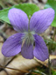 Woolly blue violet : 1- Flower