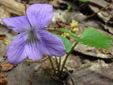 Woolly blue violet : 2- Flowering plant
