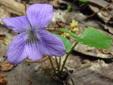 Violette commune : 2- Plante en fleur