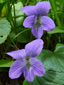 Woolly blue violet : 3- Flowers