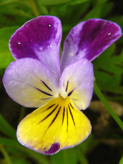 Johnny-jump-up (Viola tricolor) : Flower