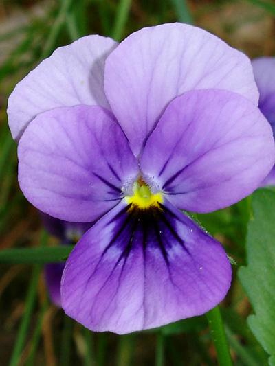 Violette pensee (Viola tricolor) Fleur